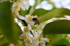 Uma abelha prova uma flor gostoso imagem de stock