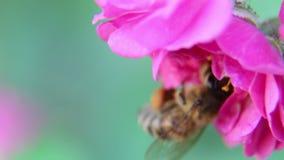 Uma abelha que paira ao coletar o pólen vídeos de arquivo