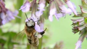 Uma abelha que paira ao coletar o pólen filme