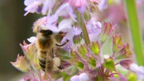 Uma abelha que paira ao coletar o pólen video estoque
