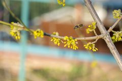 Uma abelha que paira ao coletar o pólen da flor do salgueiro de bichano Os cabelos na abelha são cobertos no pólen amarelo como s imagem de stock royalty free