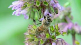 Uma abelha que paira ao recolher o pólen 4 filme