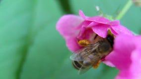 Uma abelha que paira ao recolher o pólen 2 filme