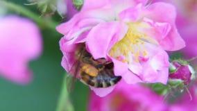 Uma abelha que paira ao recolher o pólen 3 filme