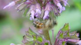 Uma abelha que paira ao recolher o pólen 5 vídeos de arquivo
