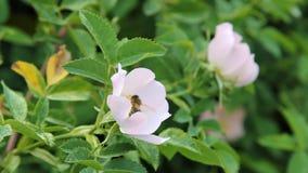 Uma abelha que recolhe o pólen das flores de quadris cor-de-rosa filme