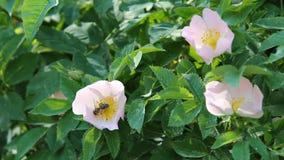 Uma abelha que recolhe o pólen das flores de quadris cor-de-rosa video estoque