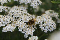 Uma abelha recolhe o néctar das flores foto de stock