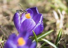 Uma abelha recolhe o néctar no açafrão Foto de Stock Royalty Free
