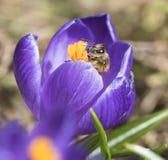 Uma abelha recolhe o néctar no açafrão Fotos de Stock