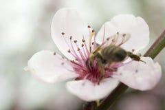 Uma abelha recolhe o pólen de uma flor cor-de-rosa do pêssego Fotografia de Stock