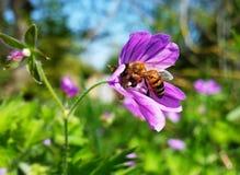 Uma abelha recolhe o pólen e o néctar Imagens de Stock