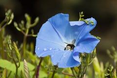 Uma abelha recolhe o pólen na flor com gotas do orvalho Imagem de Stock