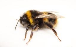 Uma abelha tropeçar em um fundo branco Imagem de Stock Royalty Free