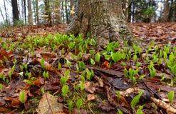 Uma abundância de mayflower de Canadá planta emergir em uma floresta da mola foto de stock royalty free
