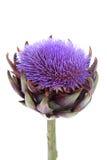 Uma alcachofra de florescência imagem de stock royalty free