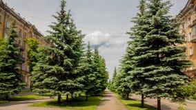 Uma aleia de árvores spruce na cidade Fotos de Stock