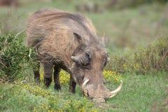 Uma alimentação do warthog imagens de stock