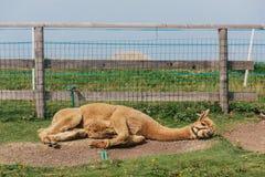 Uma alpaca que descansa sobre Monte Baldo foto de stock royalty free