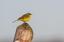 Uma alvéola amarela adulta em um cargo Fotos de Stock Royalty Free