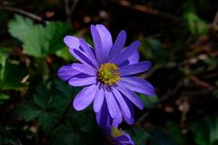 Uma anêmona de Balcãs ou um windflower na luz solar, anêmona do inverno agradável fotografia de stock