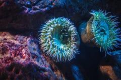 Uma anêmona de mar fotografia de stock