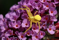 Uma aranha amarela do caranguejo, caça do vatia de Thomisidae Misumena em uma flor do Buddleia fotografia de stock