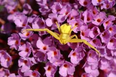 Uma aranha amarela do caranguejo, caça do vatia de Thomisidae Misumena em uma flor do Buddleia fotografia de stock royalty free