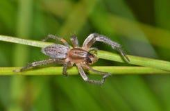 Uma aranha amarela do saco com rapina imagens de stock royalty free