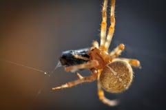Uma aranha de jardim Fotos de Stock