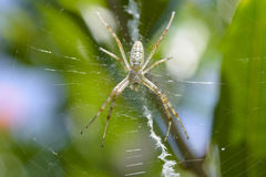 Uma aranha de jardim Fotografia de Stock