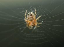 Uma aranha de jardim Foto de Stock