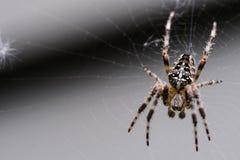 Uma aranha de jardim Imagem de Stock