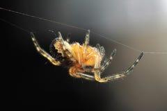Uma aranha de passeio Foto de Stock