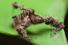 Uma aranha de Portia Imagens de Stock