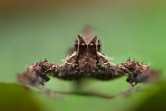 Uma aranha de Portia Fotos de Stock Royalty Free