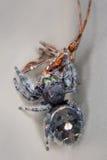 Uma aranha de salto bold(realce) com um besouro Imagem de Stock