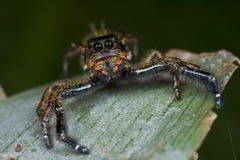 Uma aranha de salto colorida alaranjada e escura Fotografia de Stock