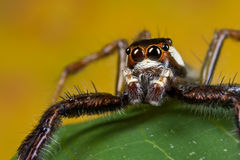 Uma aranha de salto do preto, a branca e a alaranjada Foto de Stock Royalty Free