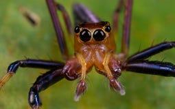 Uma aranha de salto masculina avermelhada Fotografia de Stock