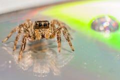 Uma aranha de salto pequena imagens de stock
