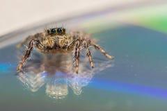 Uma aranha de salto pequena imagens de stock royalty free