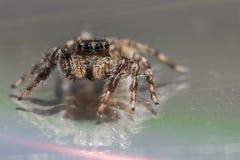 Uma aranha de salto pequena fotos de stock royalty free