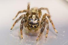 Uma aranha de salto pequena imagem de stock