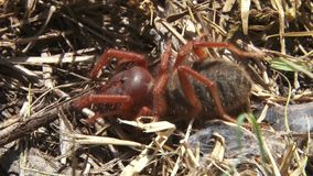 Uma aranha do solifuge que mastiga em algo filme