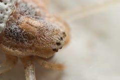 Uma aranha vermelha, Herennia Imagem de Stock