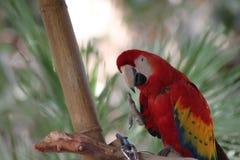 Uma arara vermelha levanta seu pé enquanto se enfeita Imagens de Stock Royalty Free