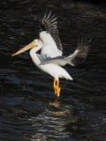 Uma aterrissagem americana do pelicano branco na água Fotos de Stock Royalty Free
