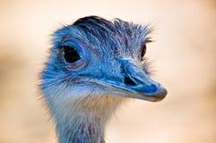 Uma avestruz Fotografia de Stock Royalty Free