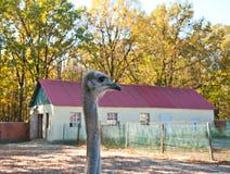 Uma avestruz africana Imagem de Stock Royalty Free